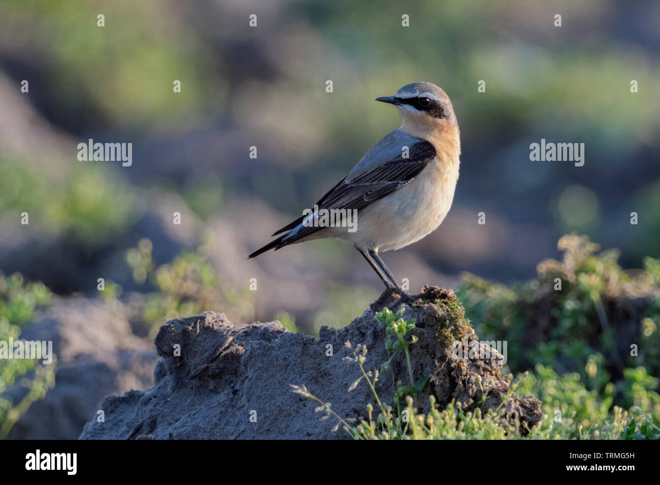 Northern Wheatear / Steinschmätzer ( Oenanthe oenanthe ), male adult, bird migration, resting on farmland, wildlife, Europe. Stock Photo