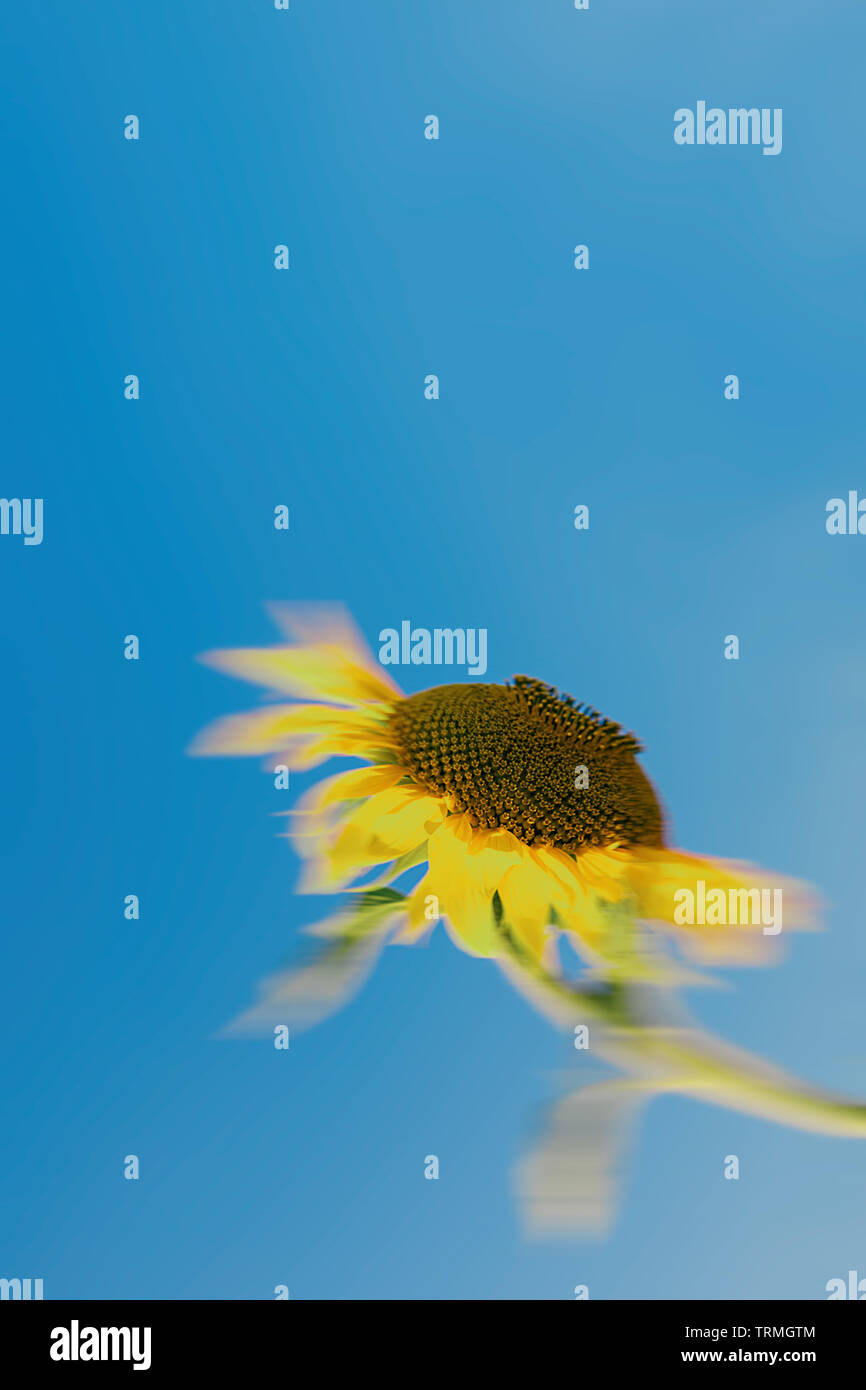 Unfocused sunflower looking at the sun under a bright blue sky Stock Photo