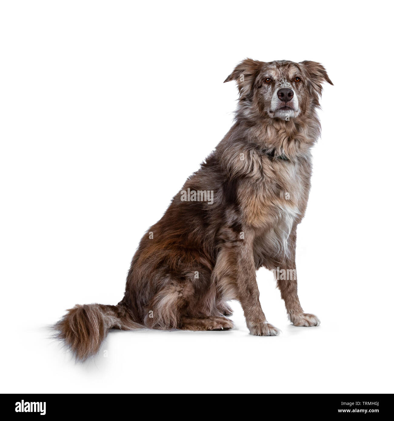 Gorgeous adult male Australian Shephard dog, sitting side ways. Looking majestic towards photographer with brown eyes. Isolated on white background. - Stock Image