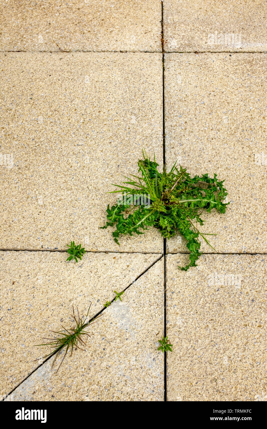 Close up of unwanted weed growing between patio slabs Stock Photo