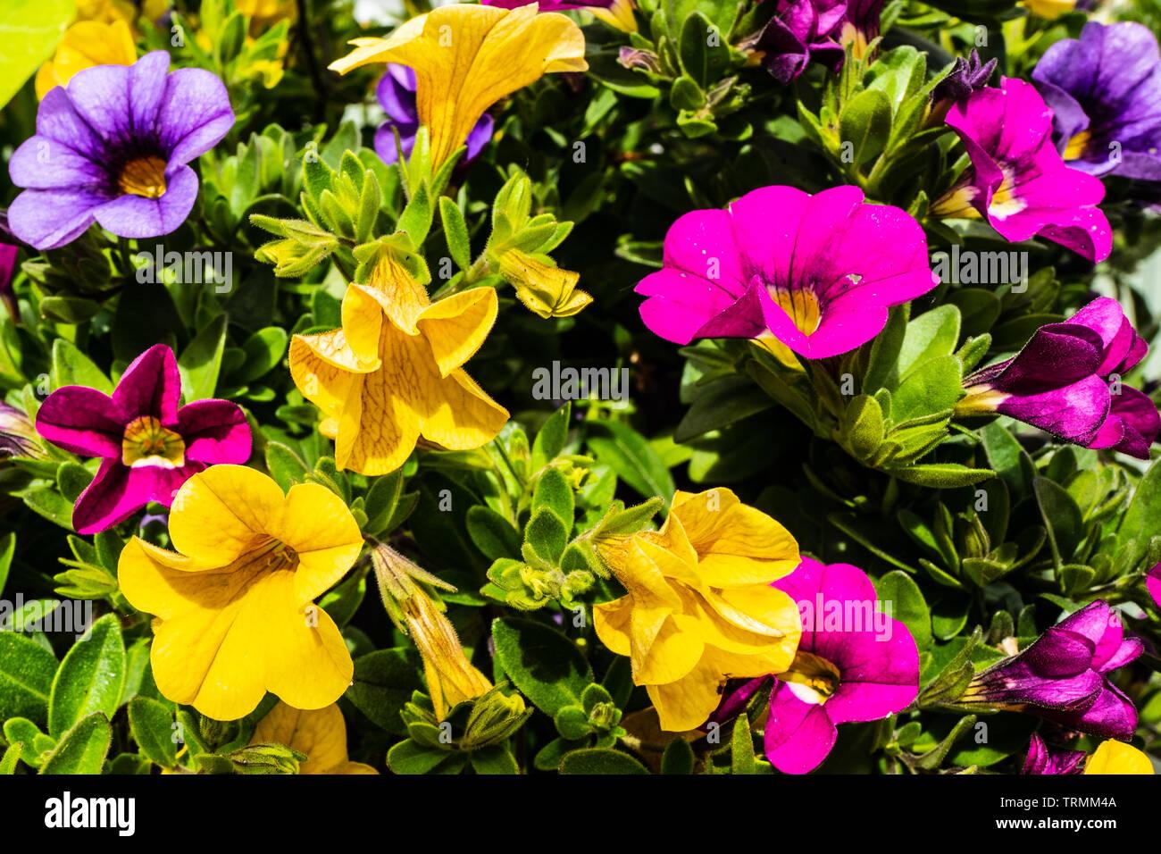 Vibrant mixed  Petunia flowers - Stock Image