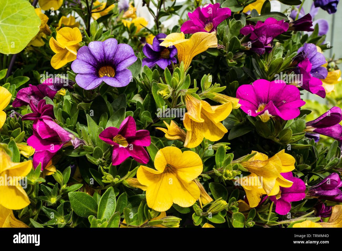 Stunning flower display Million Bells Colourful - Stock Image