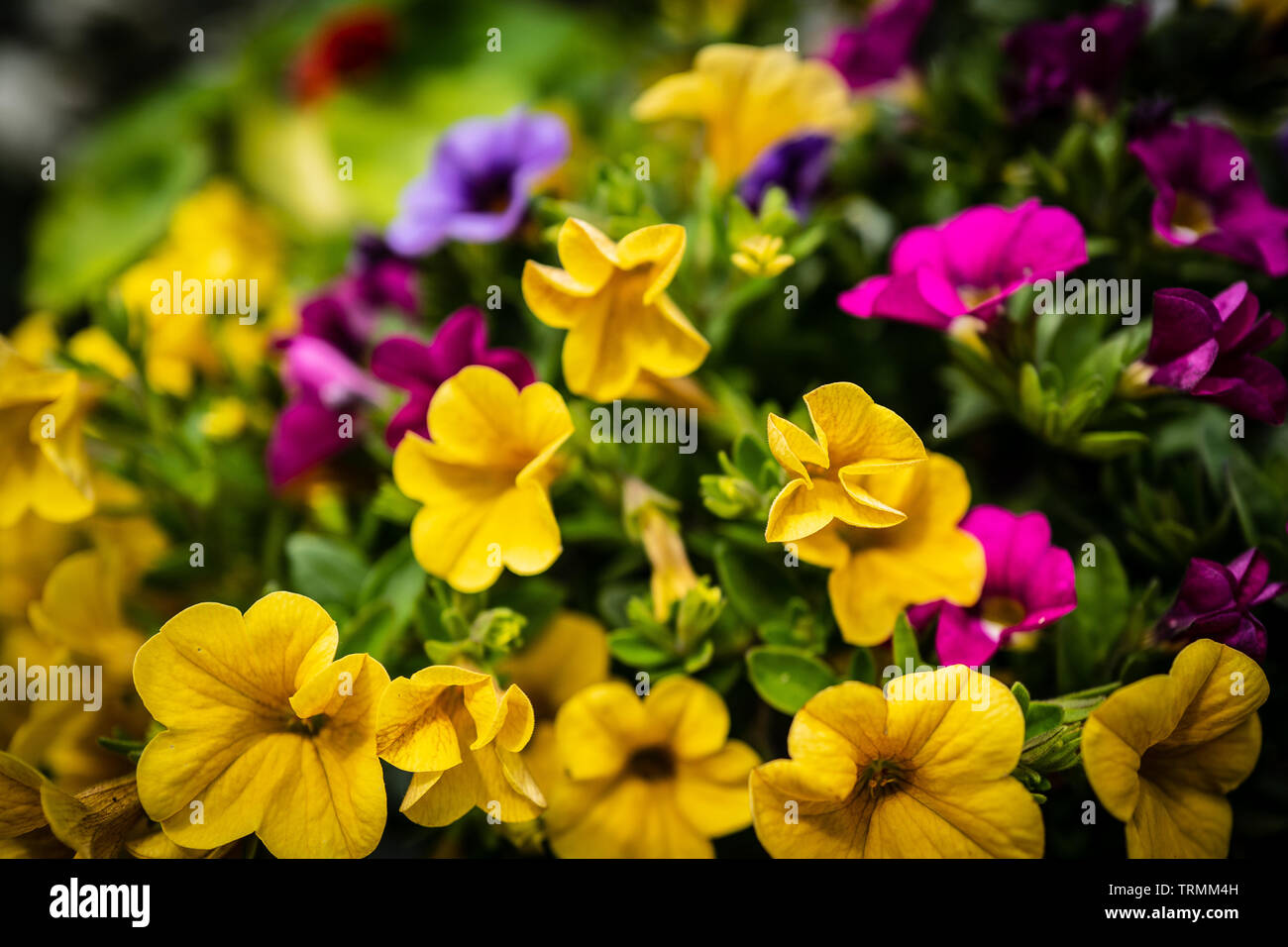 Eye-catching flowers, Warm Summer colours - Stock Image