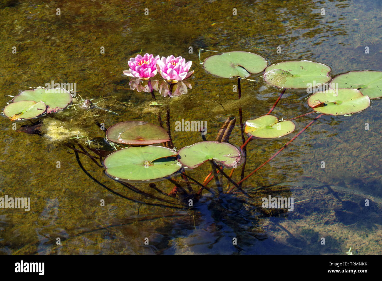 Water lily flowers stems and leaves in water - Stock Image