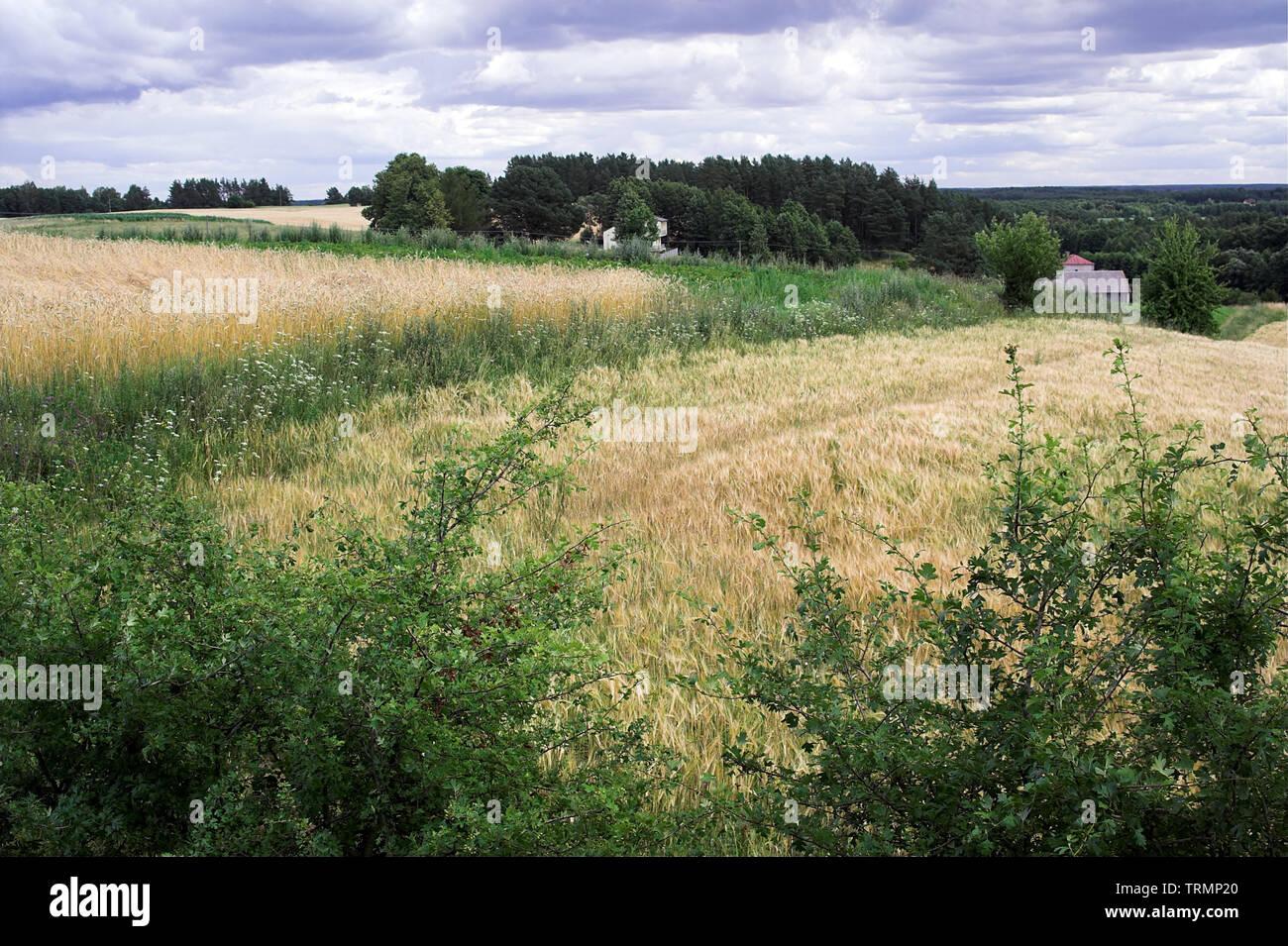 Rural landscape in the Wigry region. Ripening cereals. Ländliche Landschaft in der Region Wigry. Reifung von Getreide. Dojrzewające zboża. - Stock Image