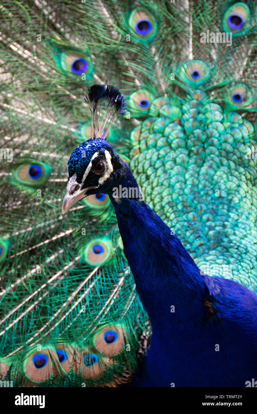 Peacock with feathers spread - Stock Image