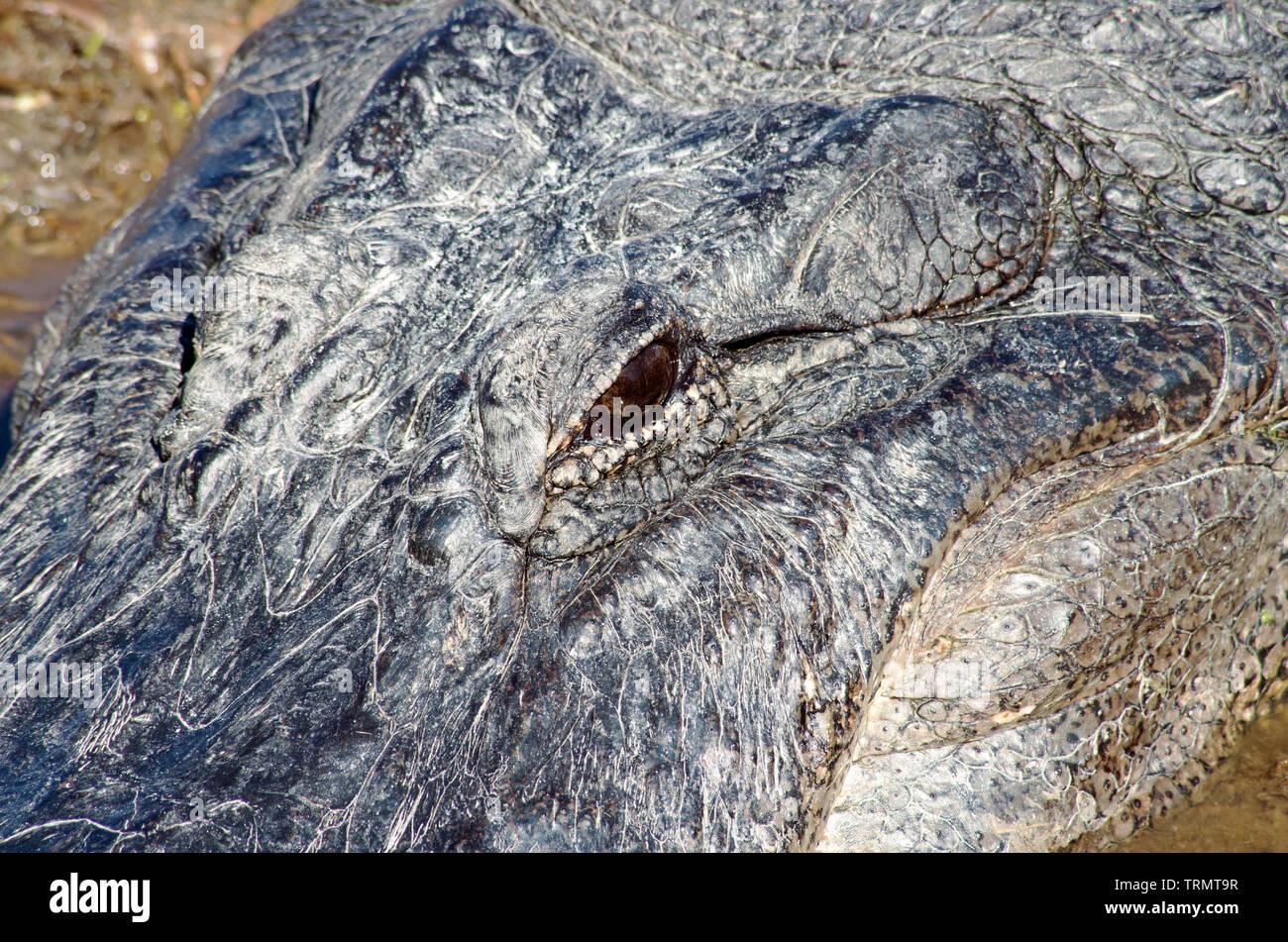 American Alligator head, closeup, from above, at the Leonabelle Turnbull Birding Center in Port Aransas, Texas USA. - Stock Image