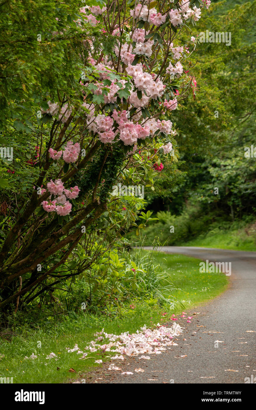 Park alley in late Spring. Rhododendron 'Lem's Cameo' shrub in full bloom by park alley with some of its leaves fallen on the ground. - Stock Image