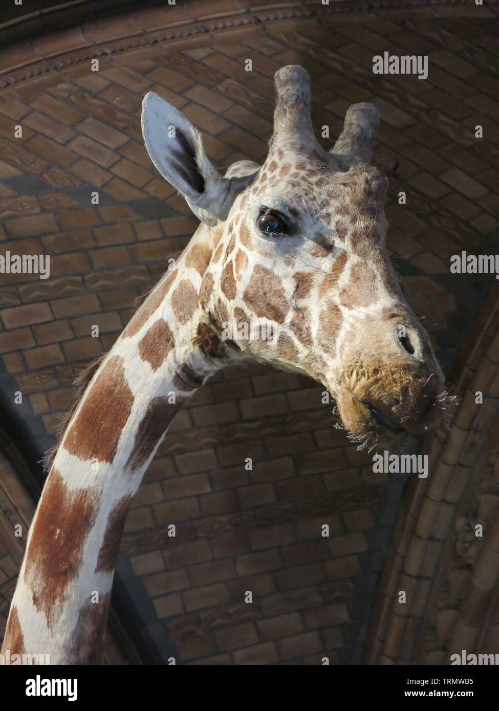 Close-up of the head and neck of a tall giraffe, one of the stuffed creatures preserved at London's Natural History Museum - Stock Image