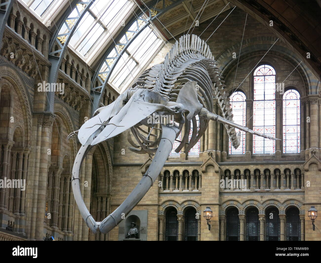 The skeleton of a blue whale suspended from the ceiling in the entrance hall is one of the big attractions for visitors to the Natural History Museum - Stock Image