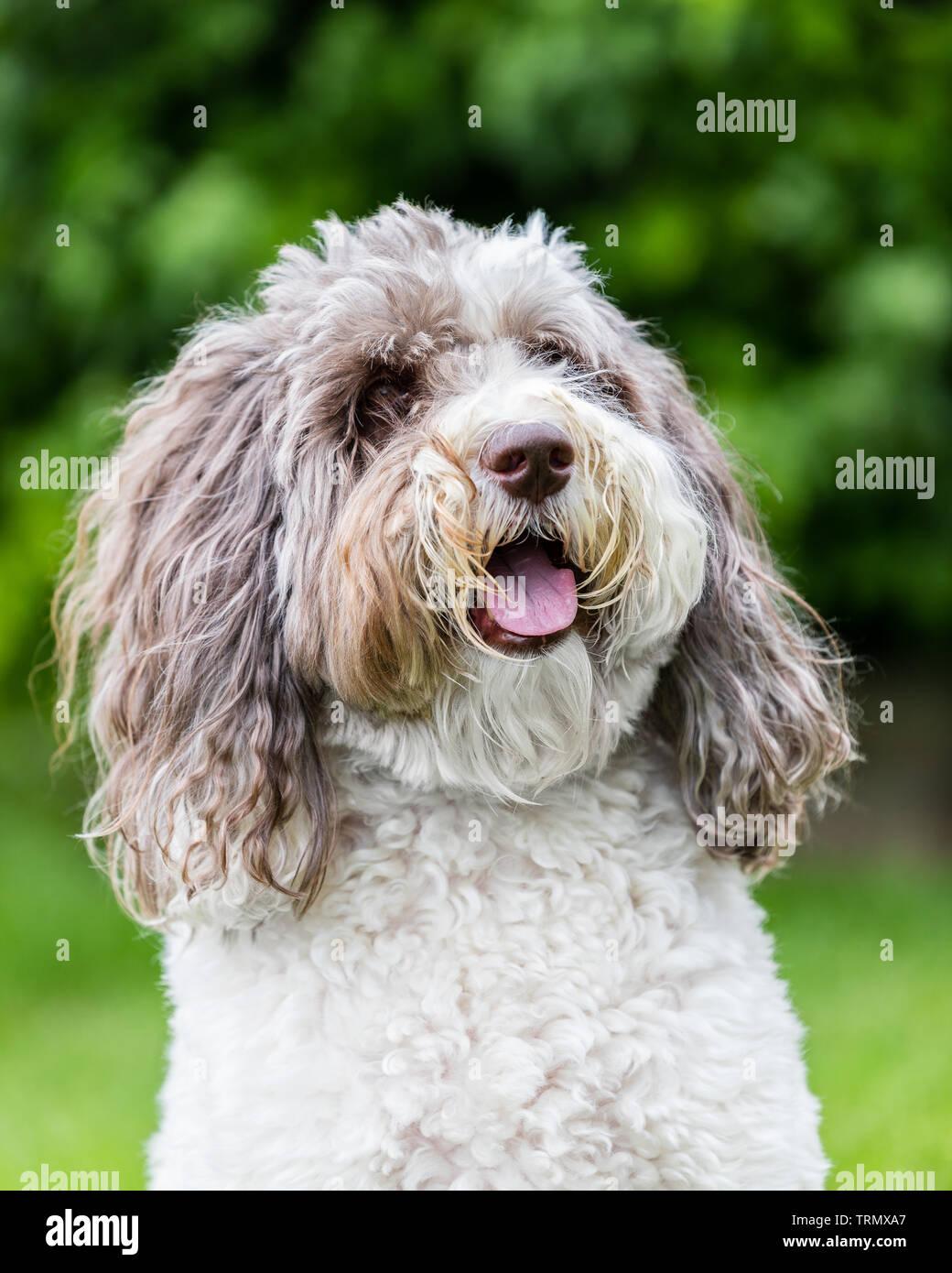 Labradoodle Puppy Dog Stock Photos & Labradoodle Puppy Dog