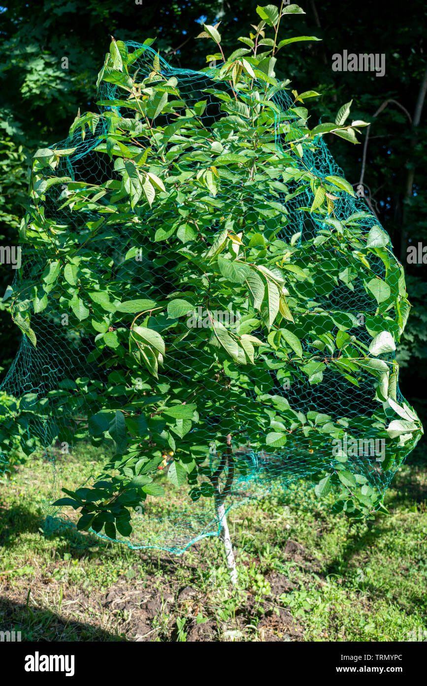 wrapped protective mesh cherry tree, protection of the fruits of the cherries from birds - Stock Image