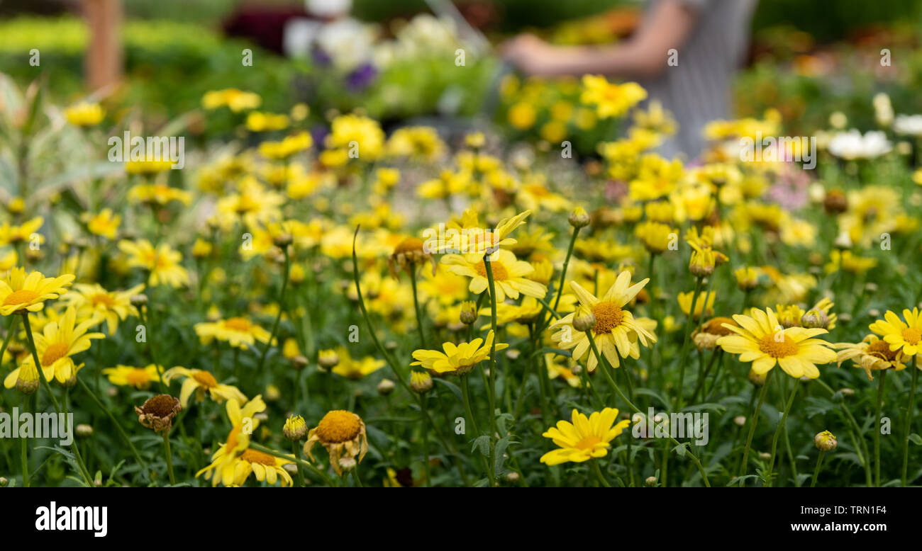 a shopper pauses while shopping at a local gardening store. - Stock Image