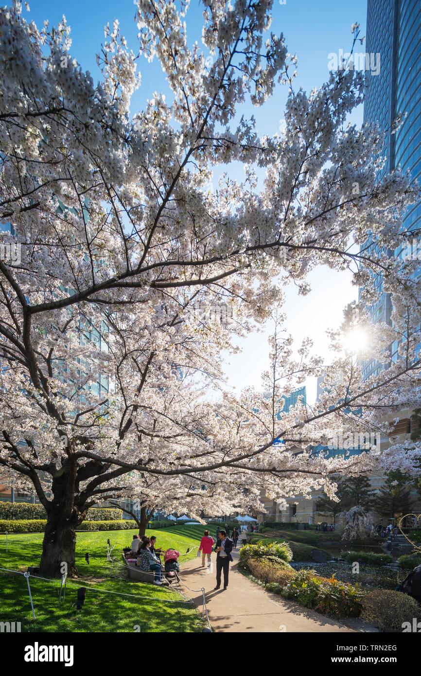 Asia, Japan, Tokyo, Roppongi, Tokyo Mid Town, spring cherry blossoms, Stock Photo