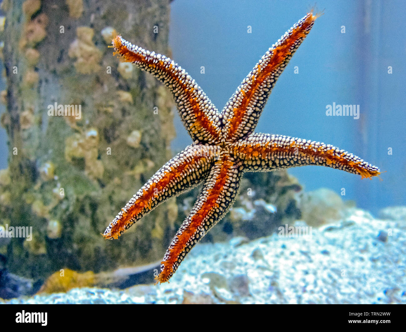 A sea star, commonly but erronously called a starfish, clings to the side of a glass aquarium with thousands of tiny orange-colored tube feet on the undersides of its five arms. The unique feet are used to move around and to hold onto prey. These star-shaped echinoderms are marine invertebrates, not fish, and have tough, spiny skin for protection. The sea animals have the remarkable ability to grow back any arm that has been broken off; this regeneration can take about a year. While five arms is most common, some of the more than 2,000 species of sea stars have 10, 20, and even 50 arms. - Stock Image