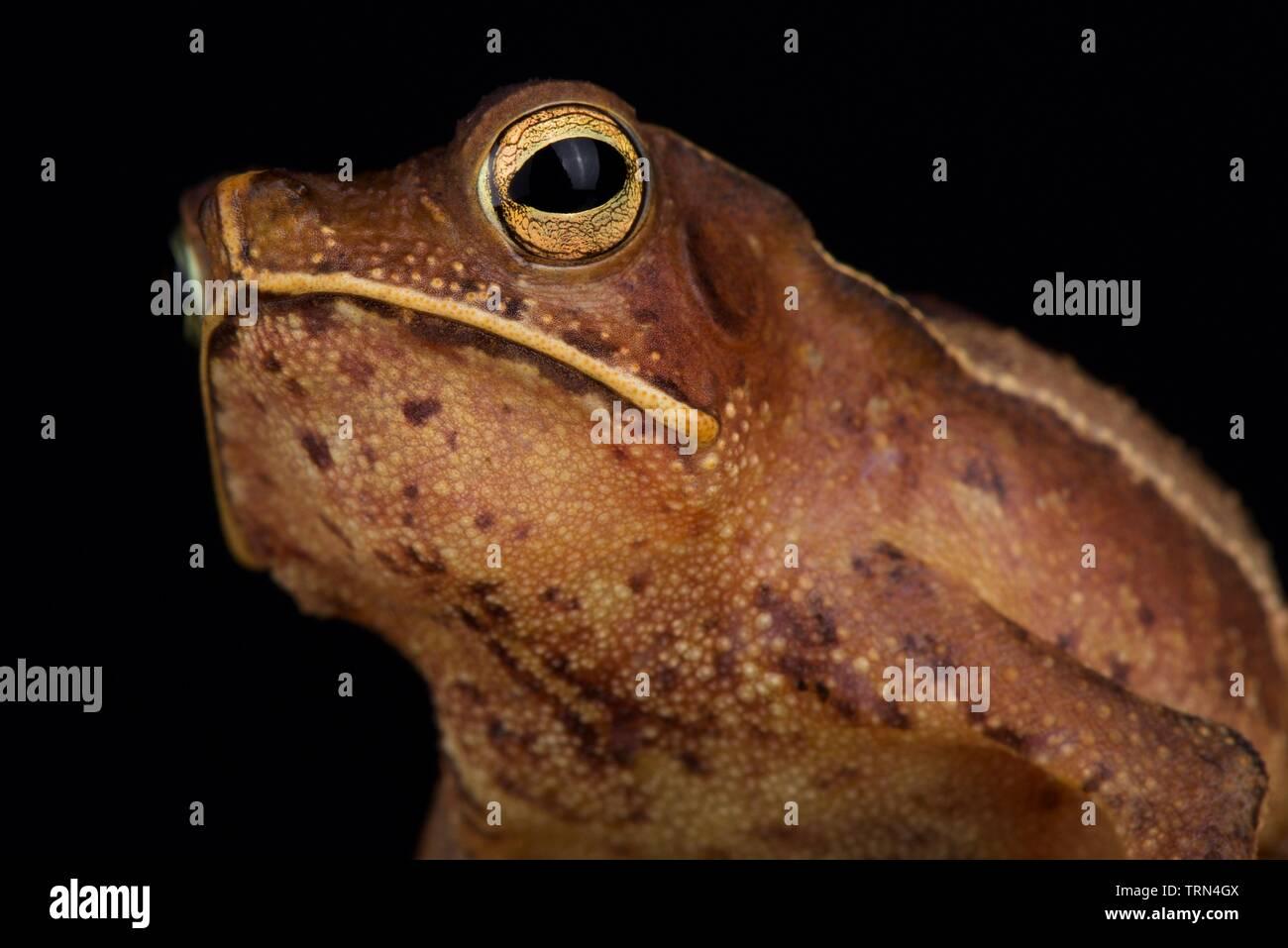 Guiana shield leaf toad (Rhinella lescurei) male - Stock Image