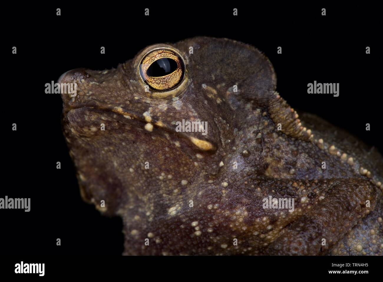 Marty's Mitred Toad (Rhinella martyi) - Stock Image