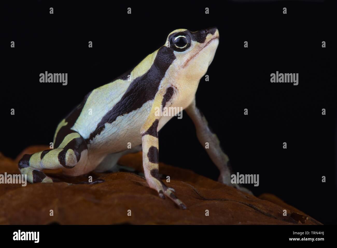 Stumpfoot toad (Atelopus hoogmoedi) - Stock Image