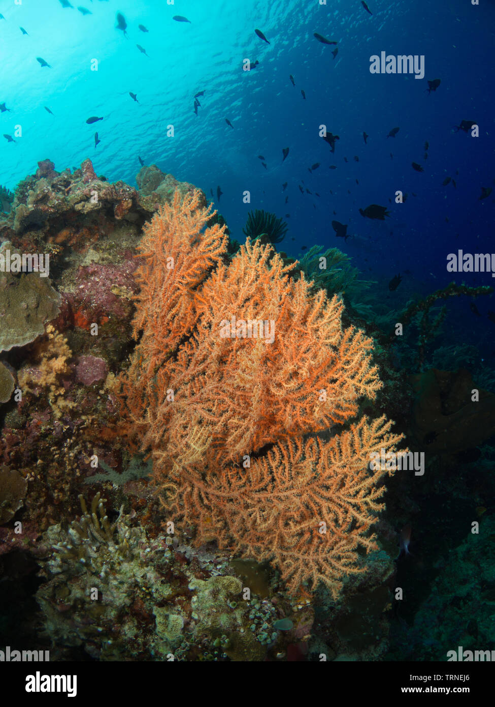 Colorful soft coral reef underwater in Bunaken Marine Park, North Sulawesi, Indonesia - Stock Image