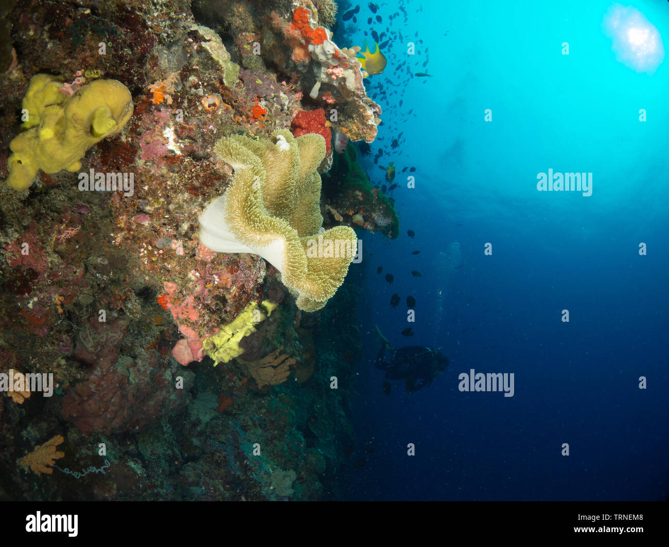 Colorful coral reef underwater in Bunaken Marine Park, North Sulawesi, Indonesia - Stock Image