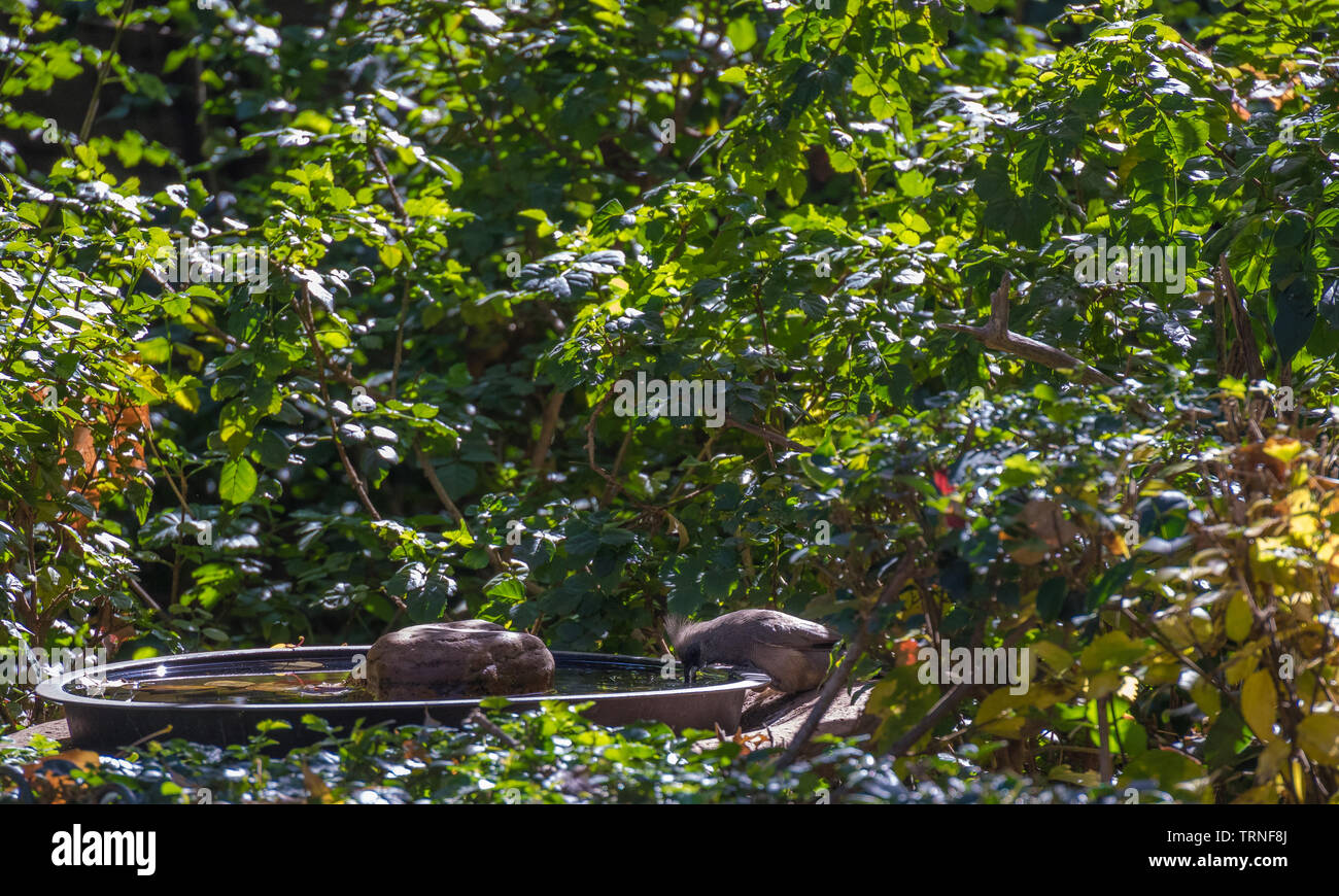 A speckled mousebird  drinks secretly from a birdbath in an urban garden image with copy space in landscape format - Stock Image