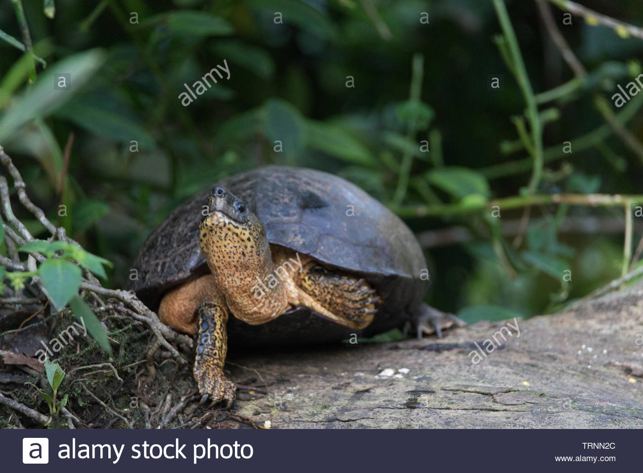 Common Slider Turtles (Trachemys scripta) Sunning Themselves in the Early Morning, Tortuguero National Park, Costa Rica - Stock Image