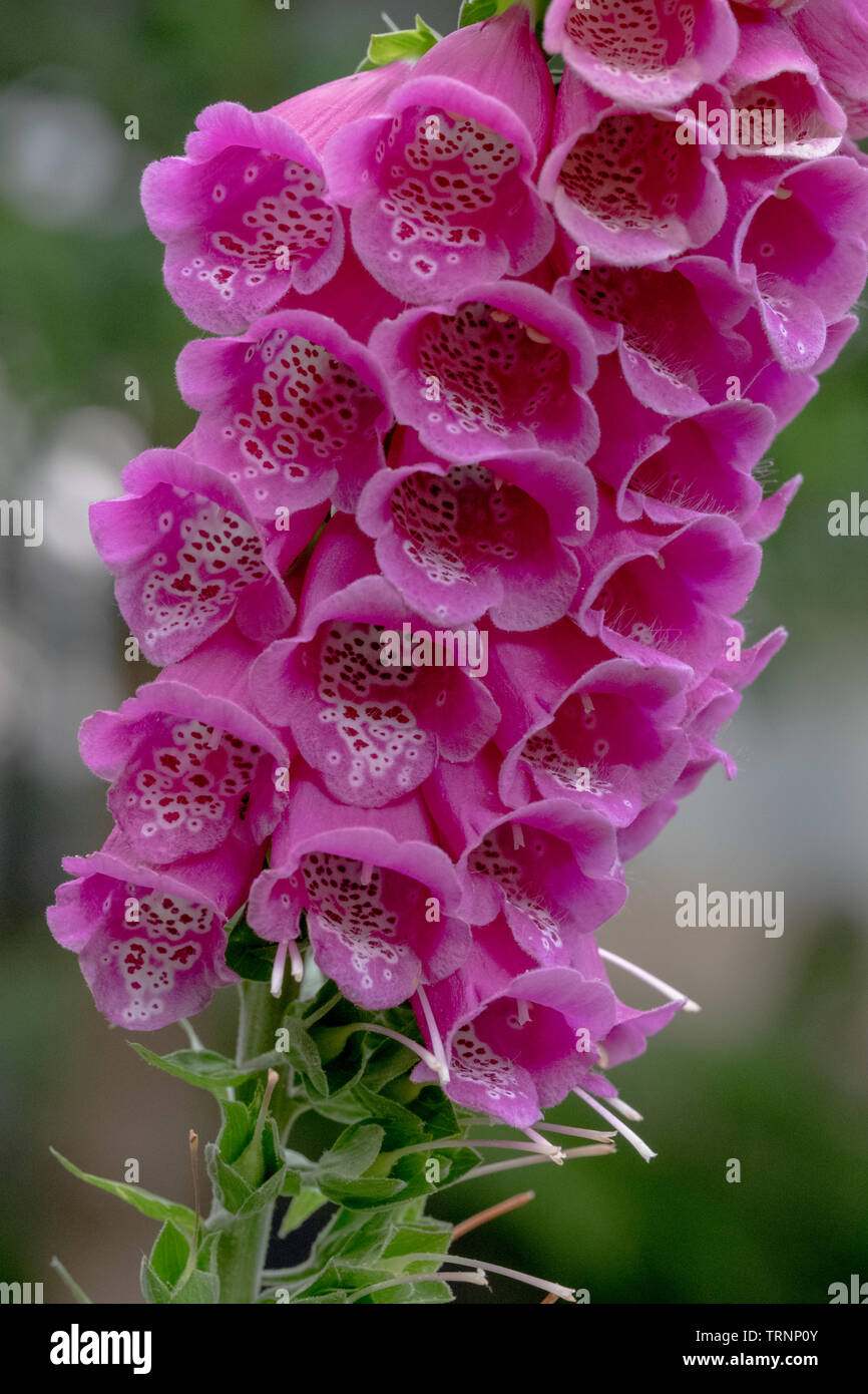 Close up of foxglove / digitalis purpurea plant, photographed in the garden of the Royal College of Physicians, London UK. - Stock Image