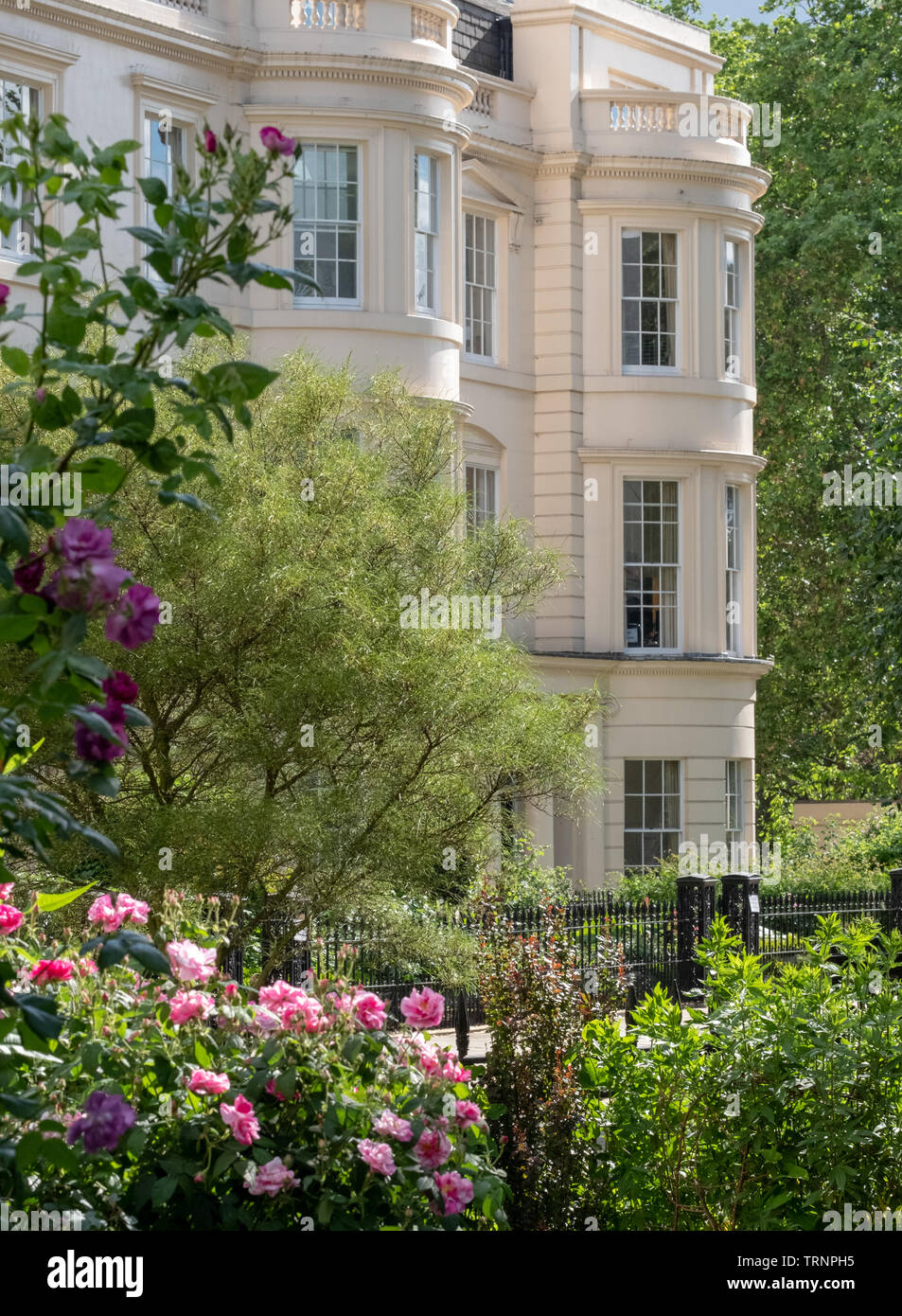 Close up of pink / purple flowers with medicinal properties in the garden at the Royal College of Physicians, London UK. - Stock Image