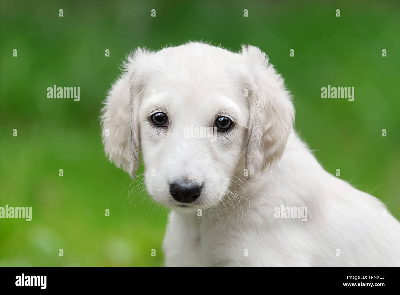 Young Saluki Persian Greyhound Puppy With A Light Colored Coat Portrait Of A Cute Baby Dog Sitting In A Green Meadow Looking Curiously With Wide E Stock Photo Alamy