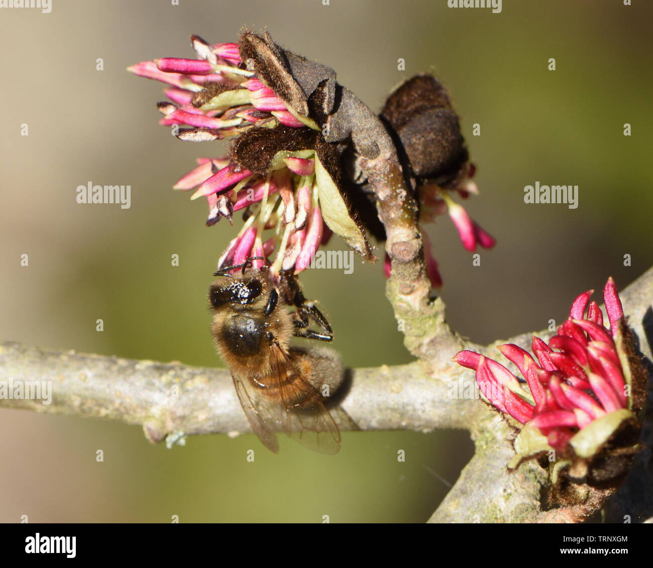 An unseasonably early honey bee (Apis mellifera) in February on Persian ironwood (Parrotia persica) flowers collecting pollen amd nectar from one of t - Stock Image