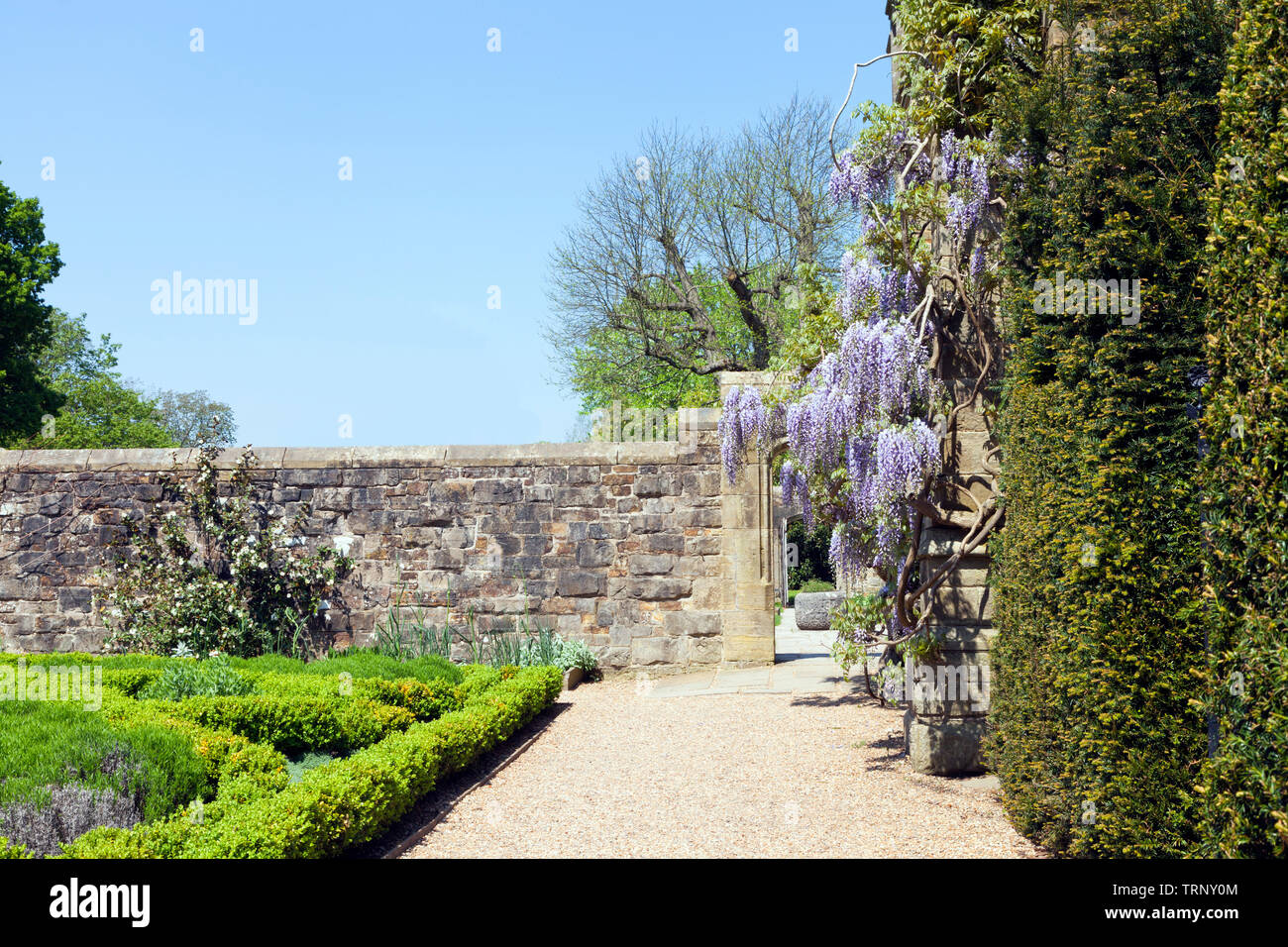 Sunny garden with flowering purple wisteria on a stone wall and small trimmed hedge plants . Stock Photo
