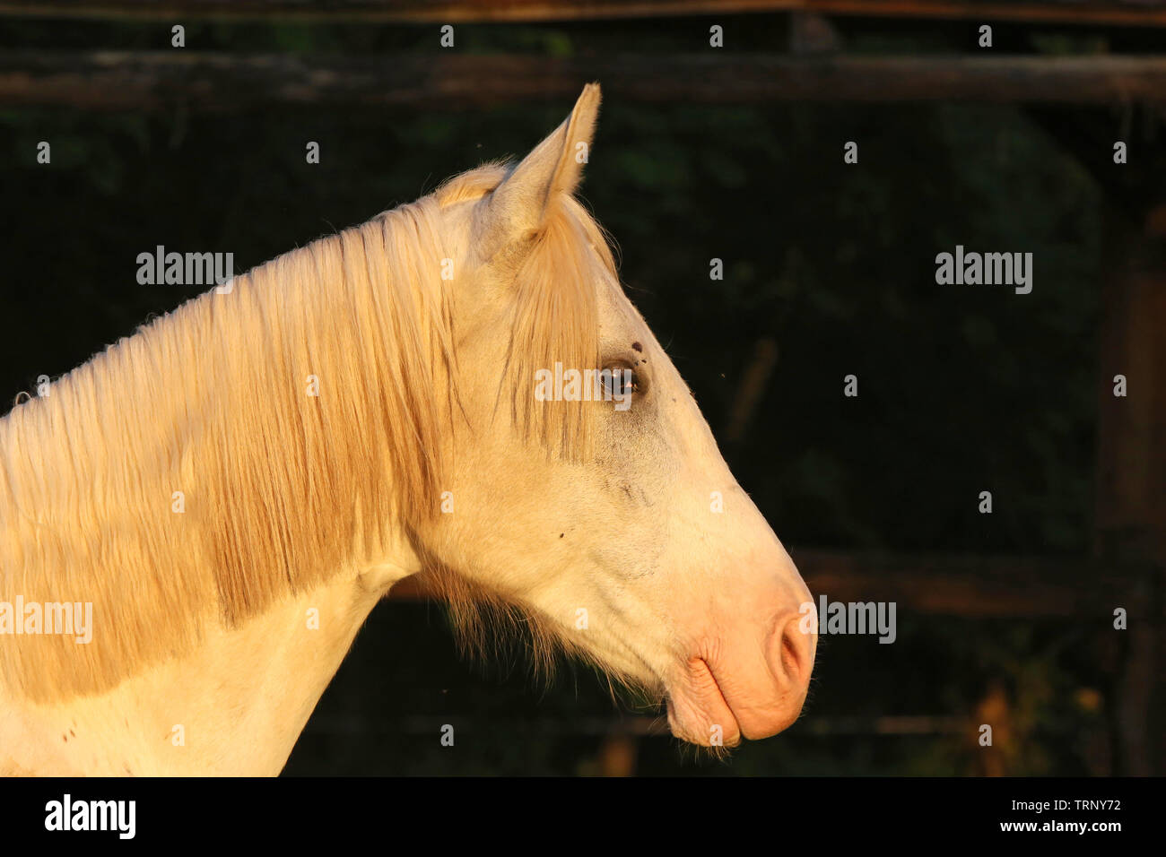 Portrait Of A Purebred Gray Arabian Stallion Closeup Of A Young Purebred Horse Purebred Young Shagya Arabian Horse Posing At Golden Hour On Rural An Stock Photo Alamy