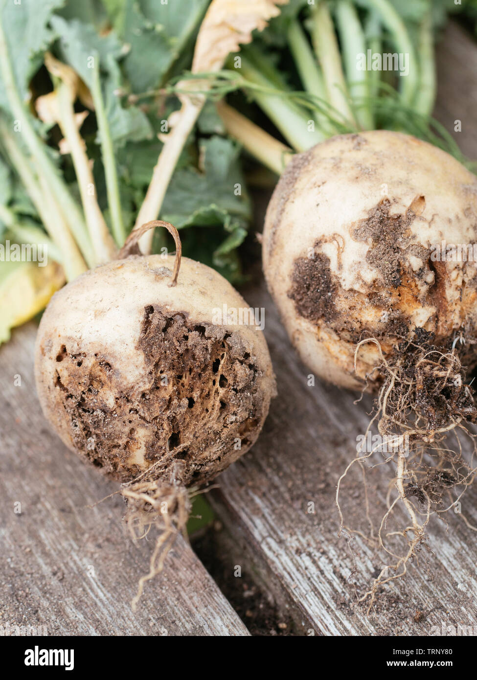 May turnip (Brassica rapa subsp. rapa var. majalis) with damage caused by the root maggot Stock Photo