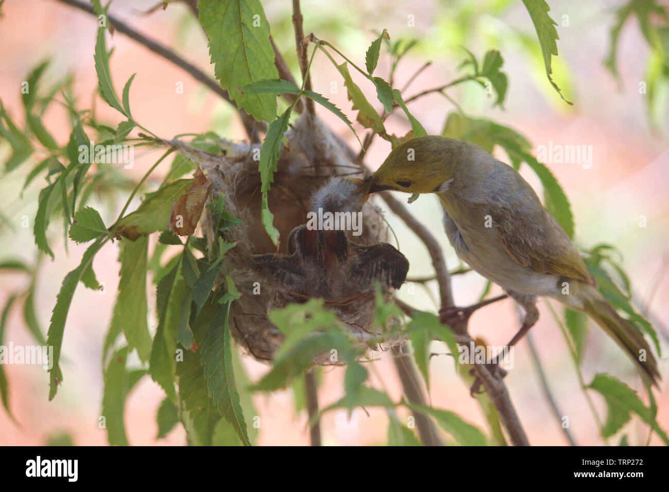 White-plumed Honeyeater looking after her chick in the nest, Western Australia - Stock Image