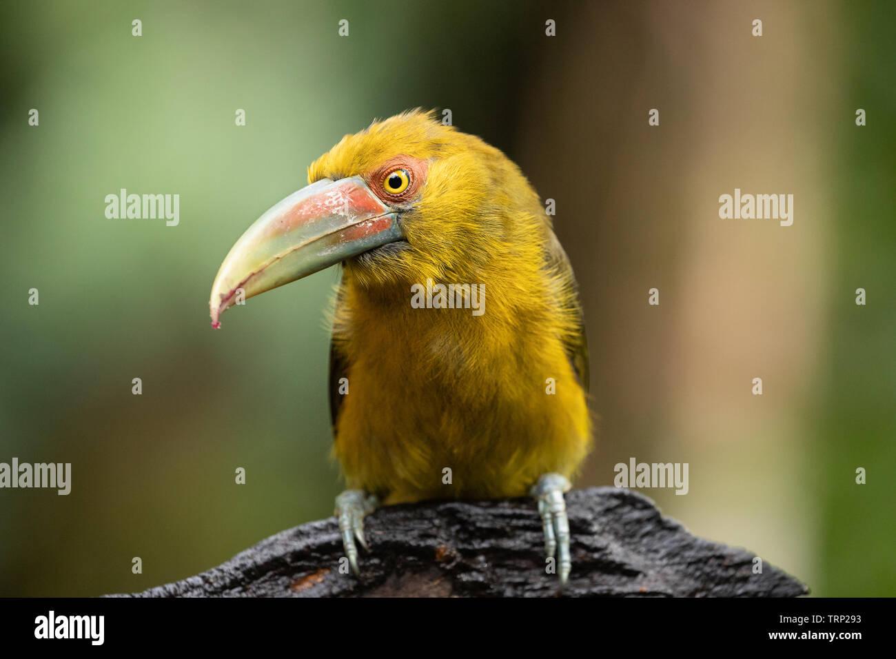 araçari-banana - Stock Image