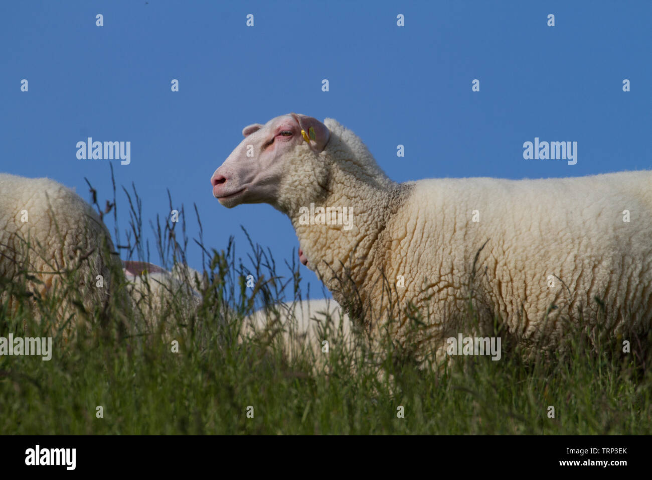 Sheep against a blue sky. East Frisia, Lower Saxony. Germany. - Stock Image
