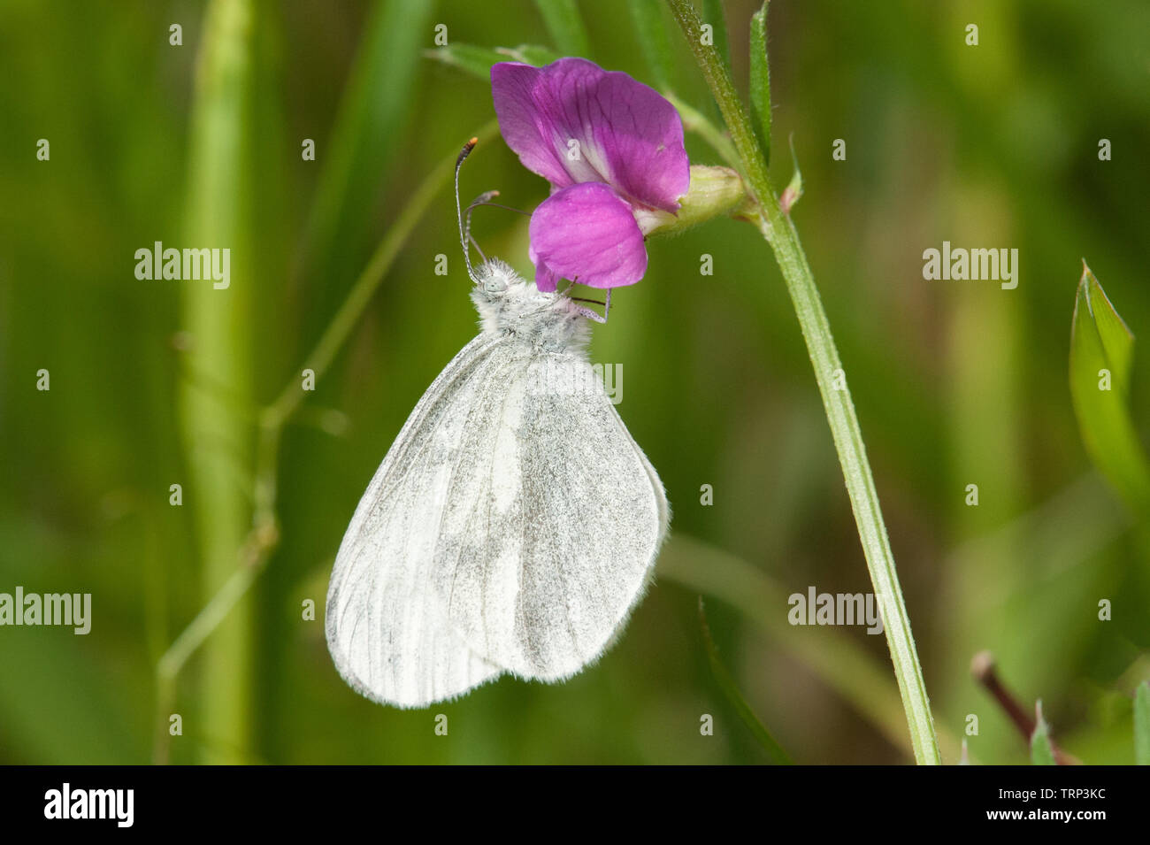 Wood white butterfly nectaring - Stock Image