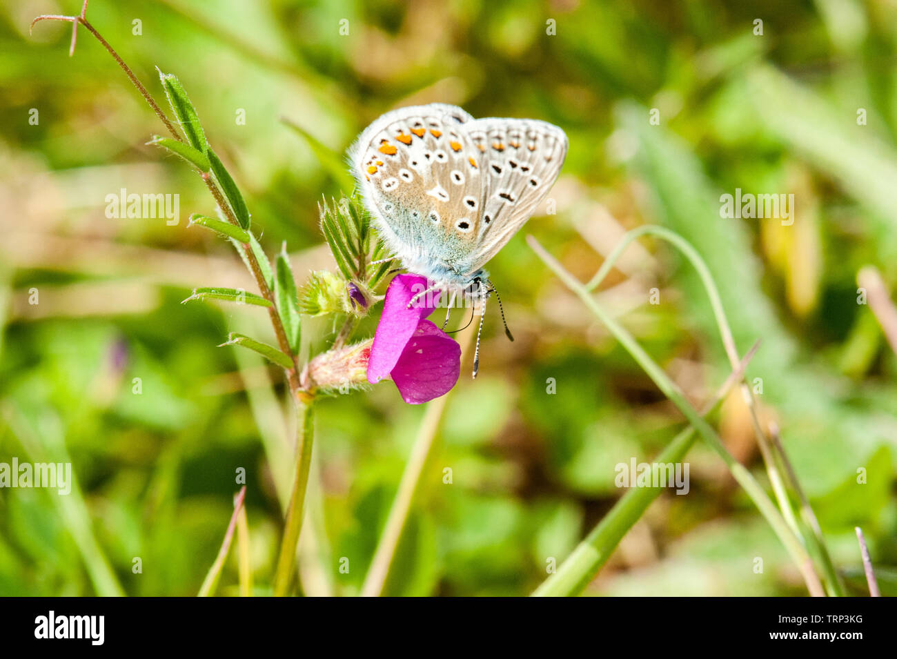 Common blue butterfly nectaring - Stock Image