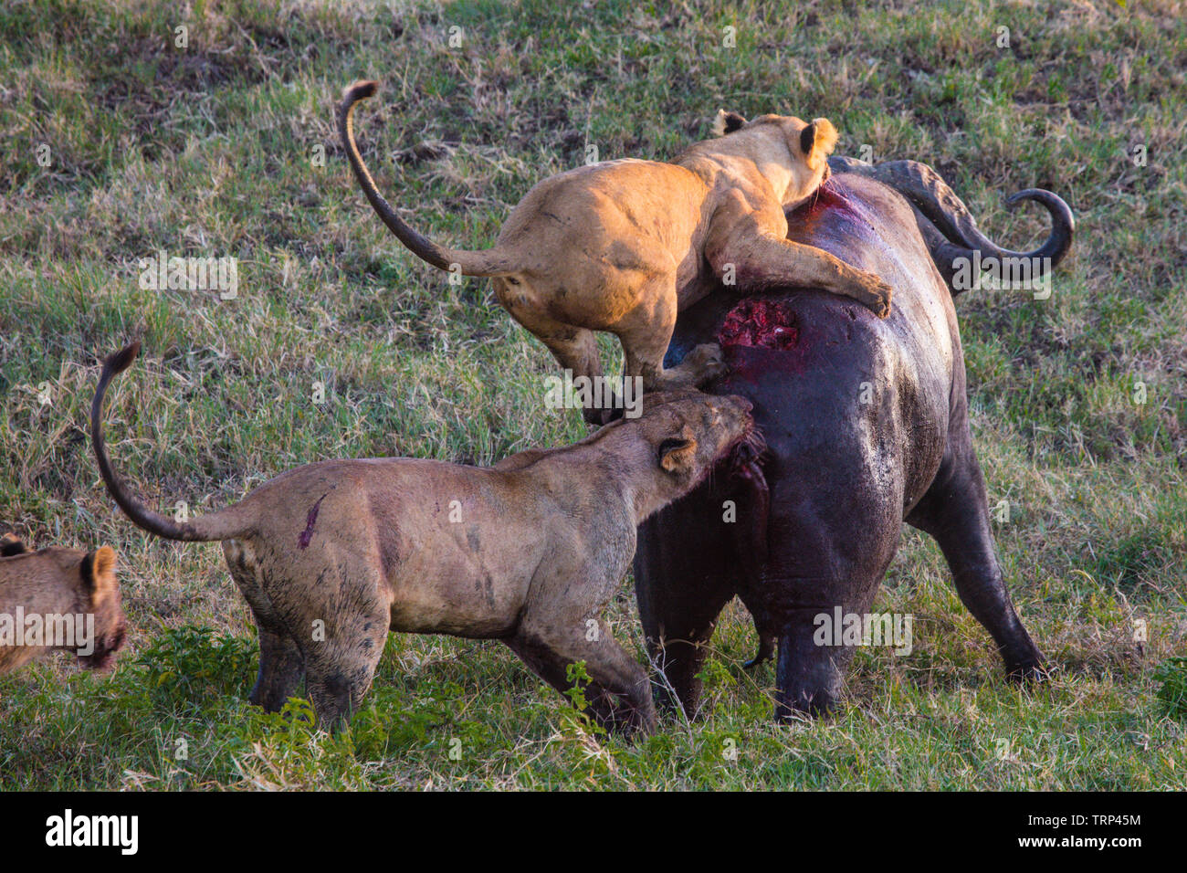 Lion Hunting Buffalo Stock Photos & Lion Hunting Buffalo