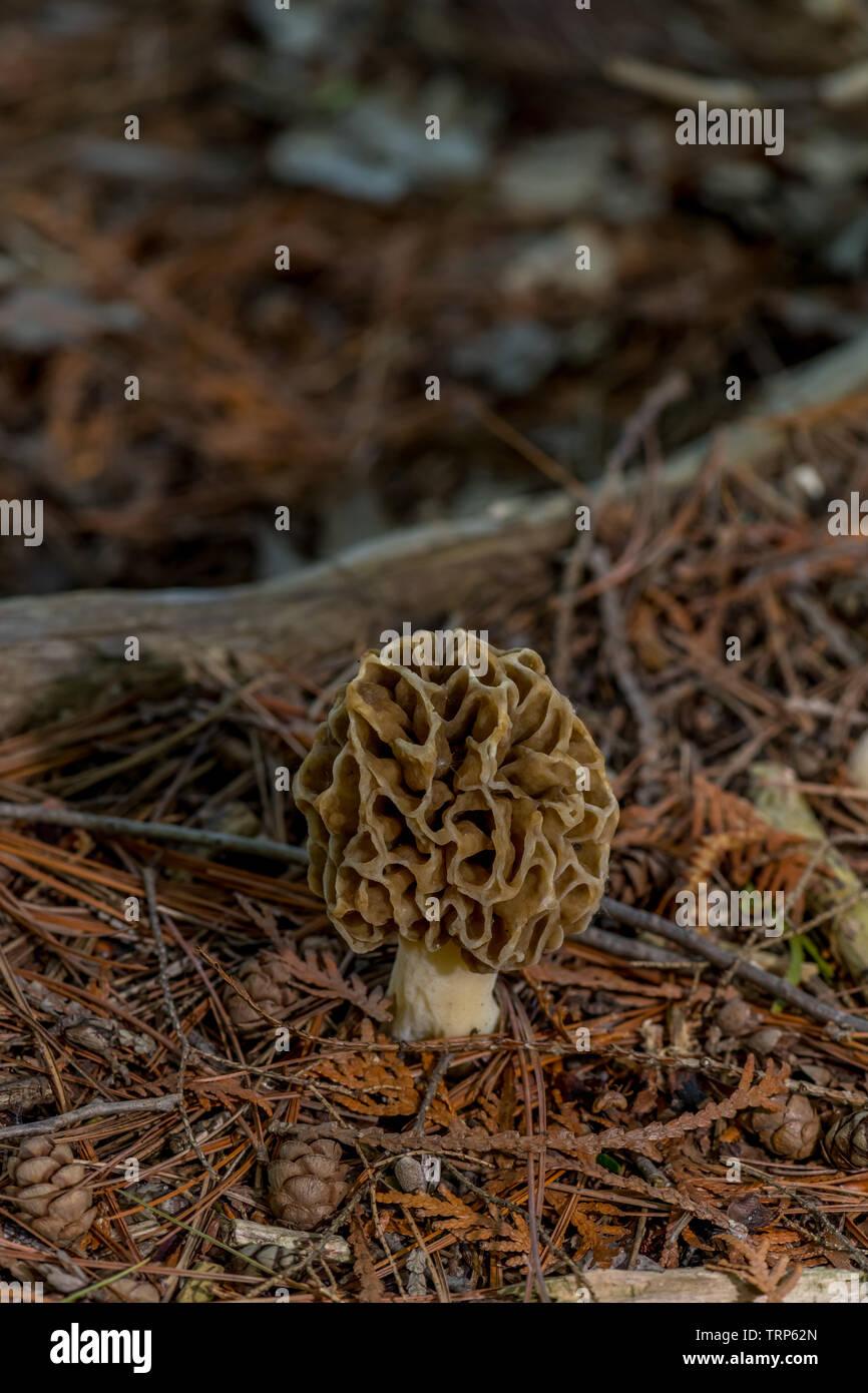 A true Morel Mushroom (Genus Morchella) an edible fungi found growing on the forest floor. Stock Photo