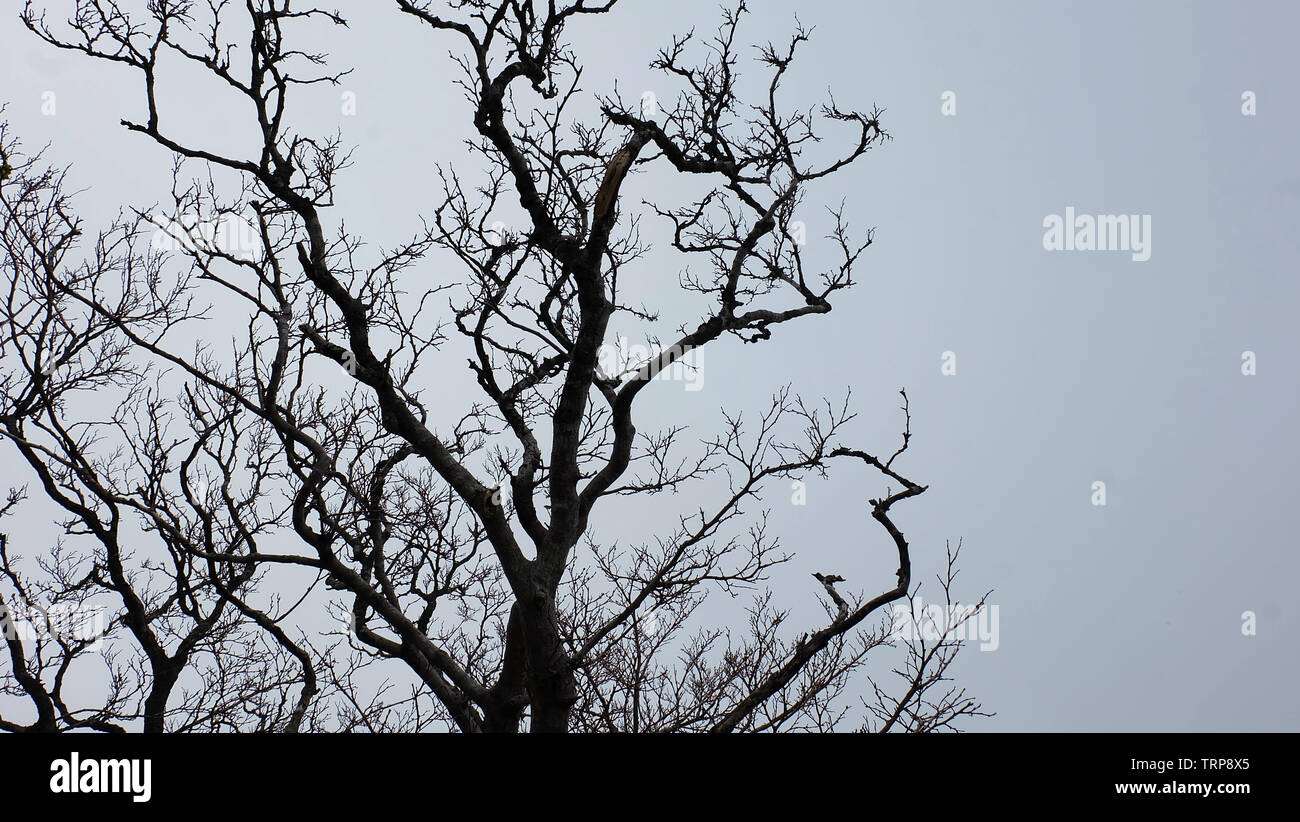 A bare tree with twisting branches against a gloomy foggy day. - Stock Image