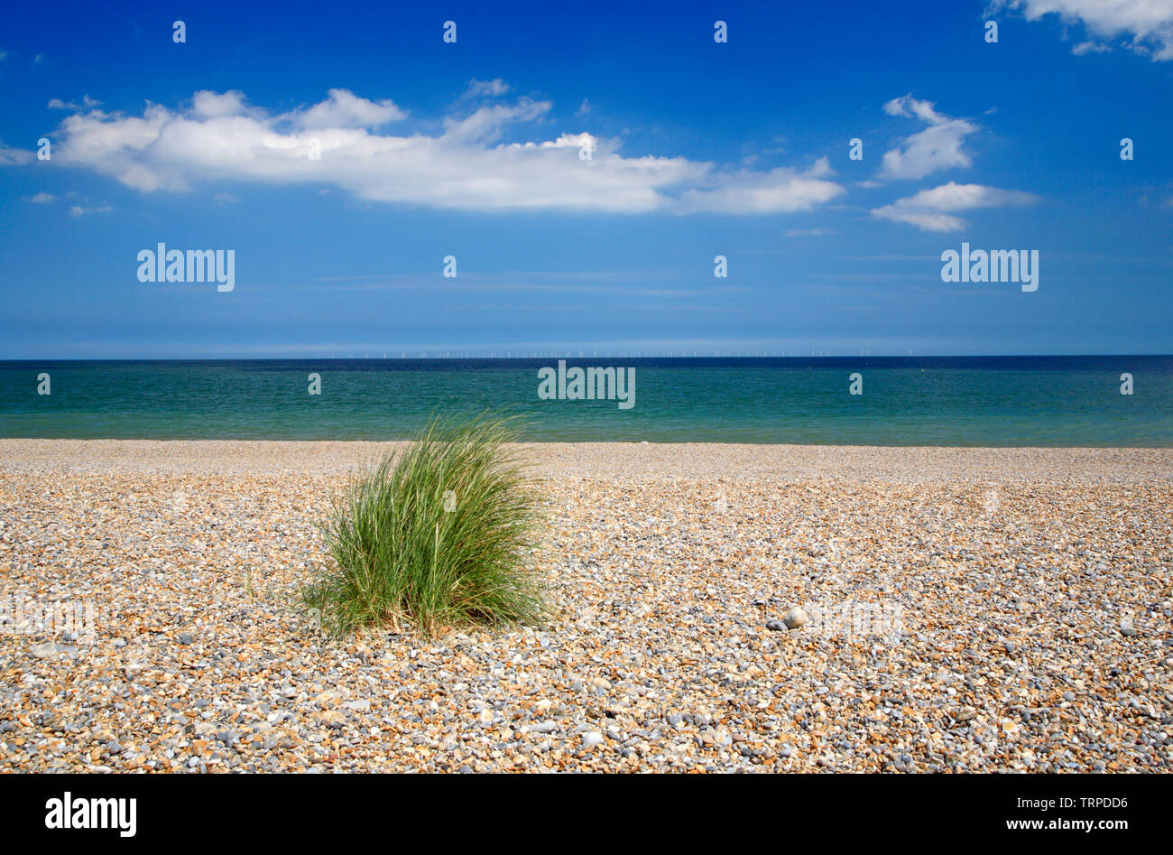 An isolated clump of Marram Grass, Ammophila arenaria, on the shingle ridge in North Norfolk at Salthouse, Norfolk, England, UK, Europe. - Stock Image