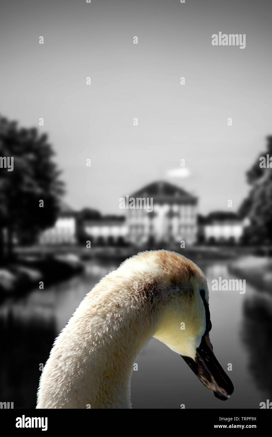 The swan of Nympfenburg - Stock Image