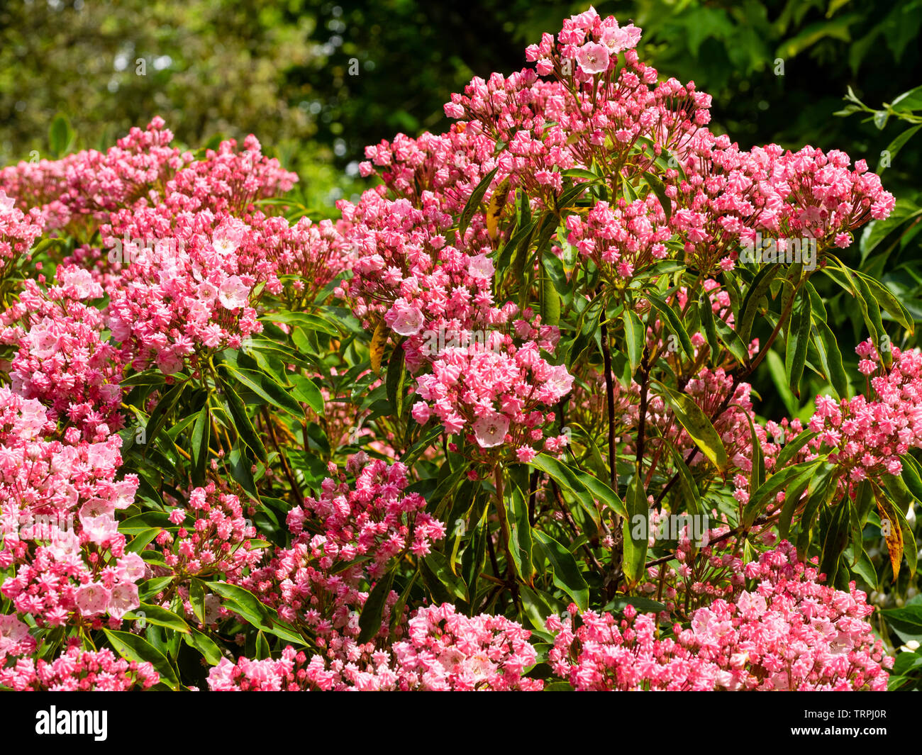 Pleated buds and opening flowers of the hardy evergreen mountain laurel, Kalmia latifolia - Stock Image