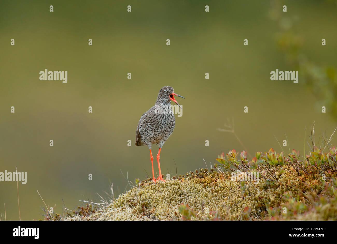Redshank [Tringa totanus] - Iceland - Stock Image