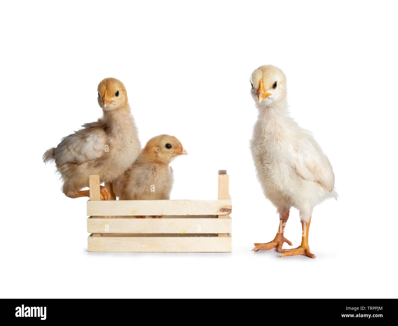 Group of 3 baby chicks. Two sitting in and on edge of little crate. One standing cheeky in front.  Isolated on white background. All looking to photog Stock Photo