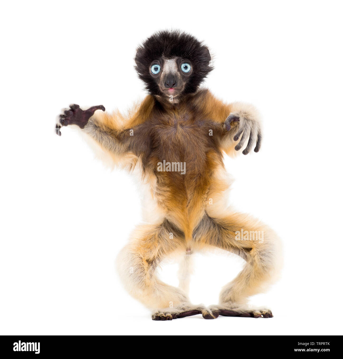 Soa, 4 months old, Crowned Sifaka standing against white background - Stock Image