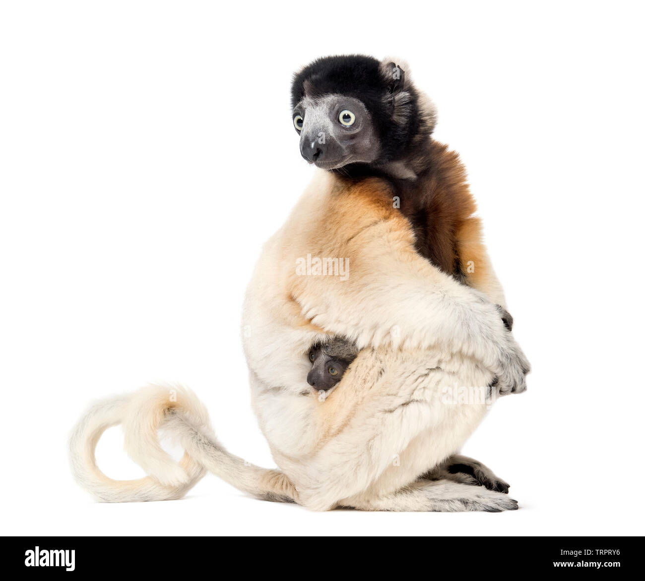 Mother Crowned Sifaka and her two months old baby sitting against white background - Stock Image