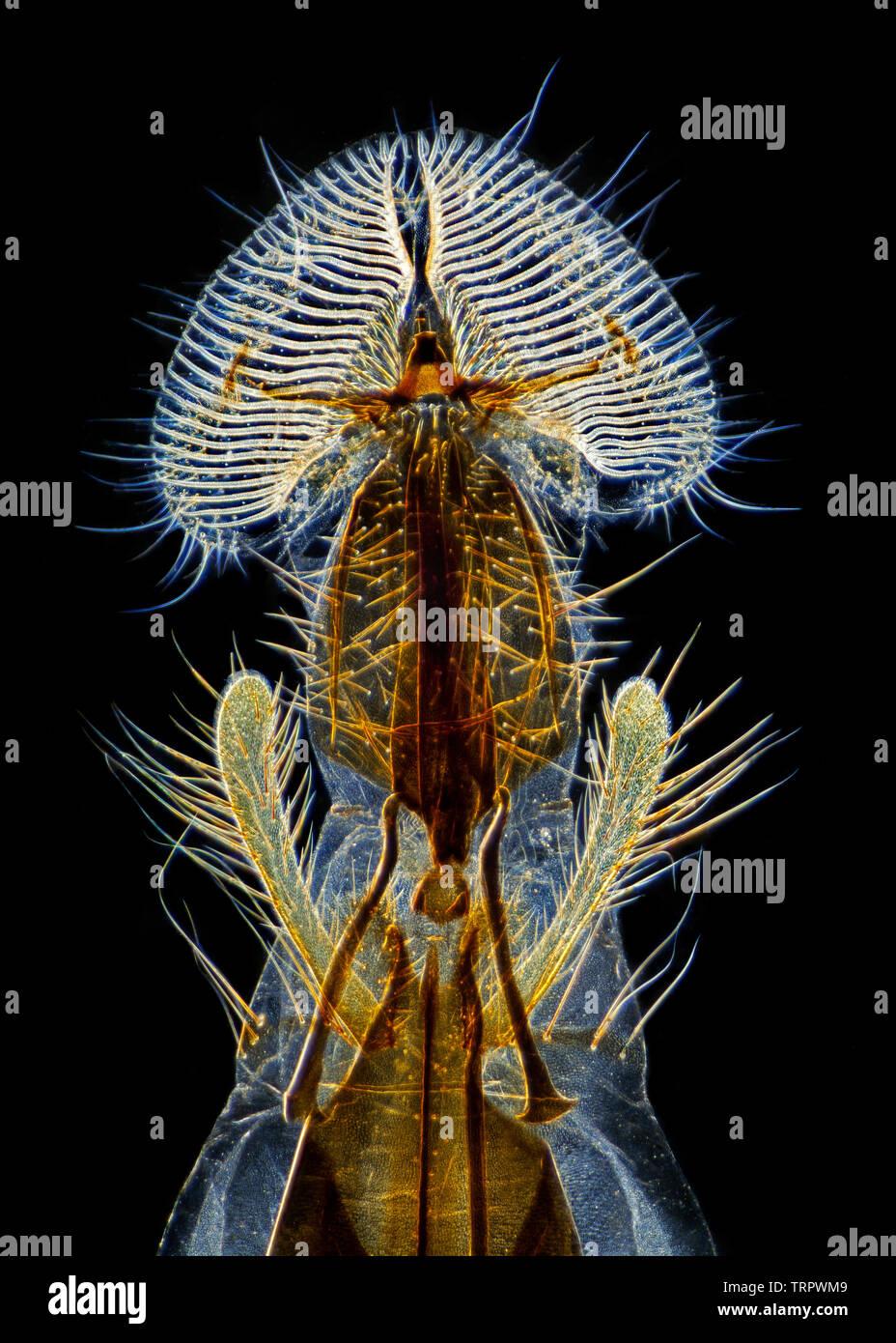 A blowfly mouthparts, (proboscis) a classic microscopy preparation. darkfield photomicrograph. - Stock Image