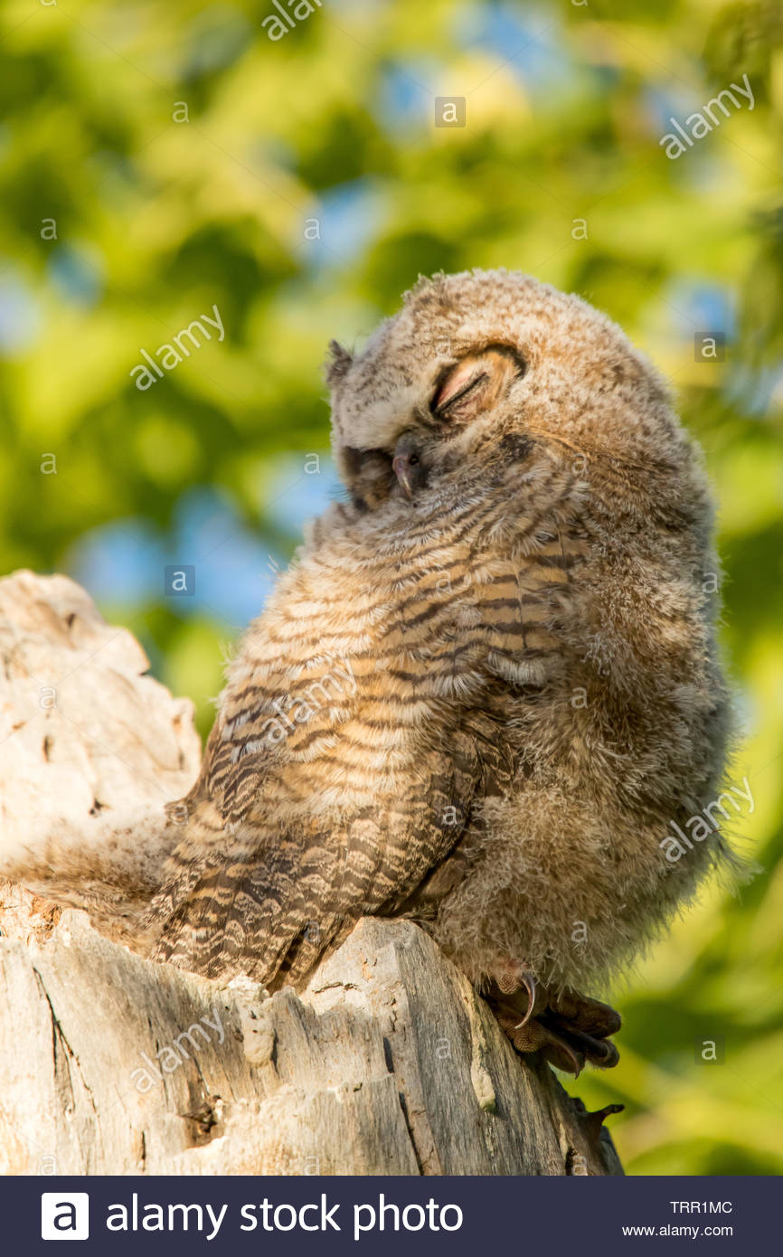 Juvenile great-horned owl  takes a nap while in nest in sycamore tree Stock Photo